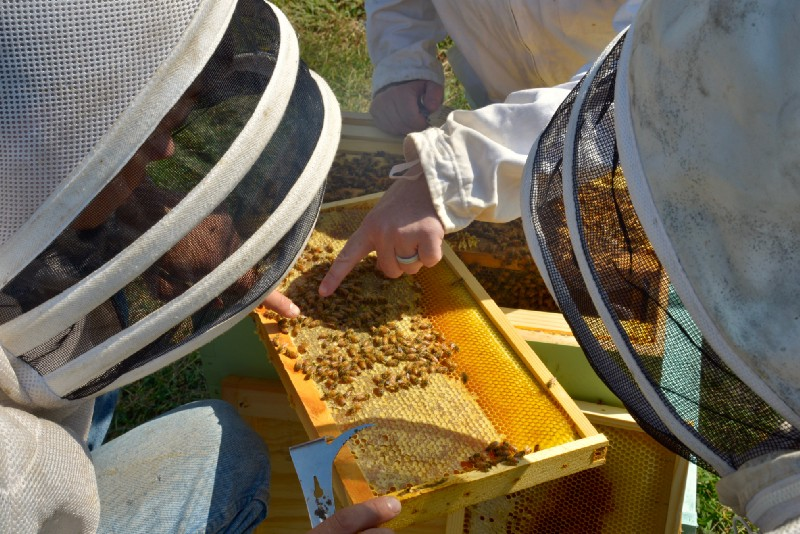Beekeepers inspecting a honeycomb