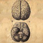 The Human Brain by Albrecht von Haller (c. 1776)