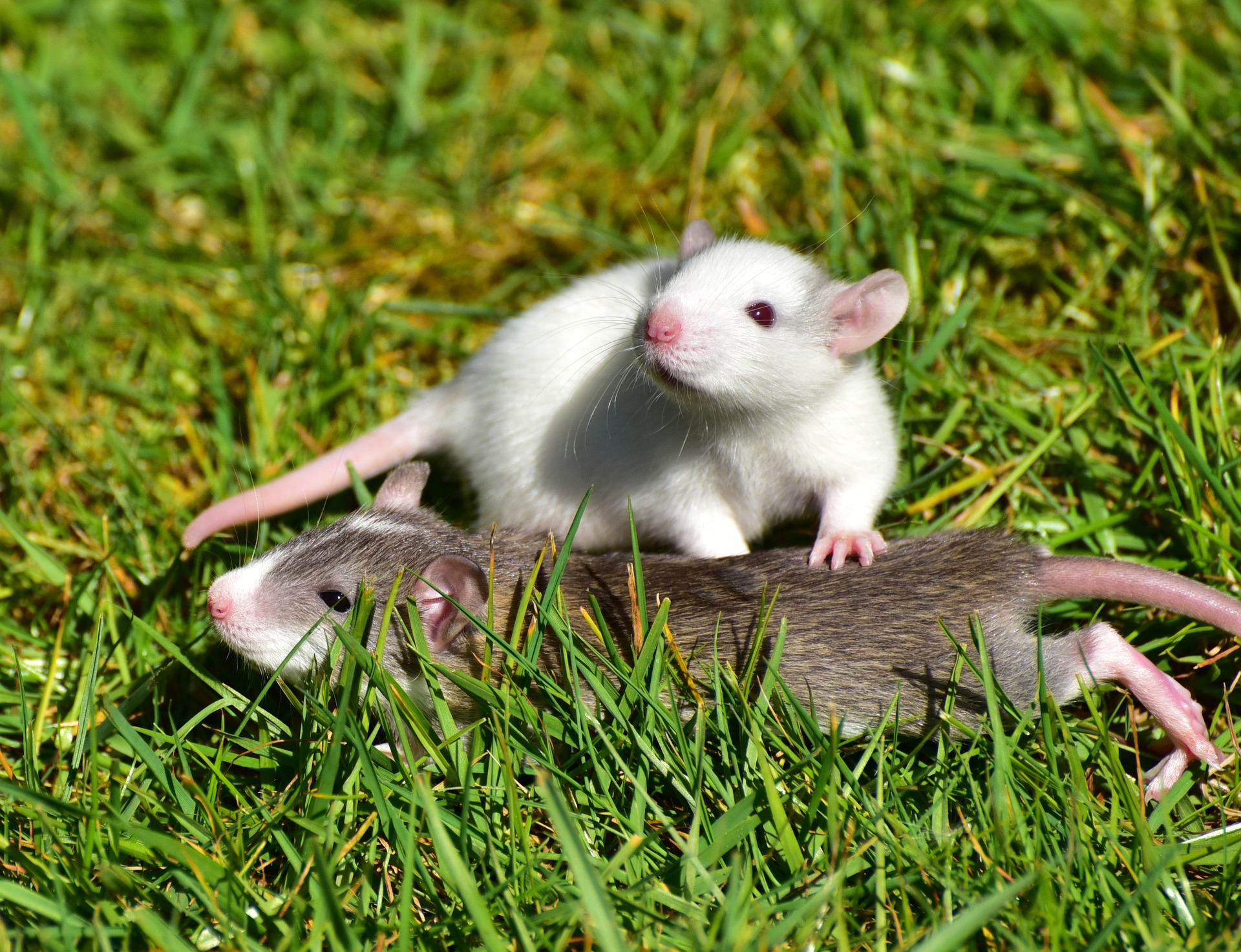 2 Baby Rats together on the grass - photo credit: Silvia Sipa  - Conscious Life Space