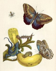 Metamorphosis insectorum Surinamensium Maria Sibylla Merian - ART - Illustration