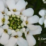 Candytuft - Iberis - - first blooms of spring