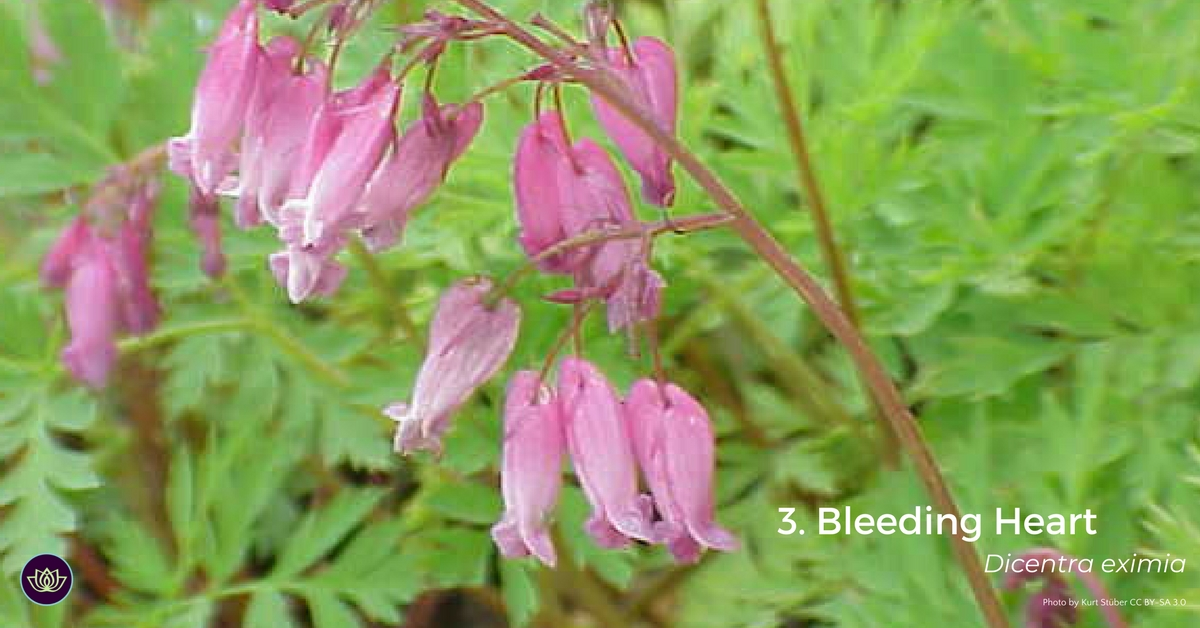 Bleeding Heart Dicenta - - first blooms of spring