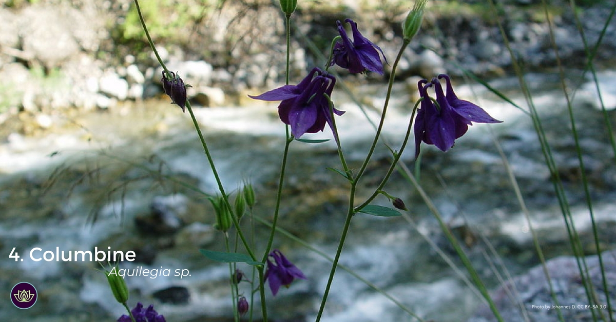 Columbine - first blooms of spring