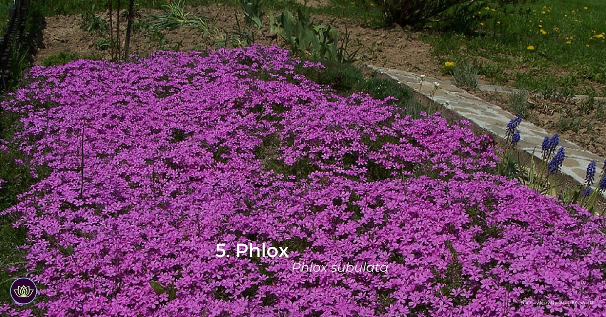 Phlox - first blooms of spring