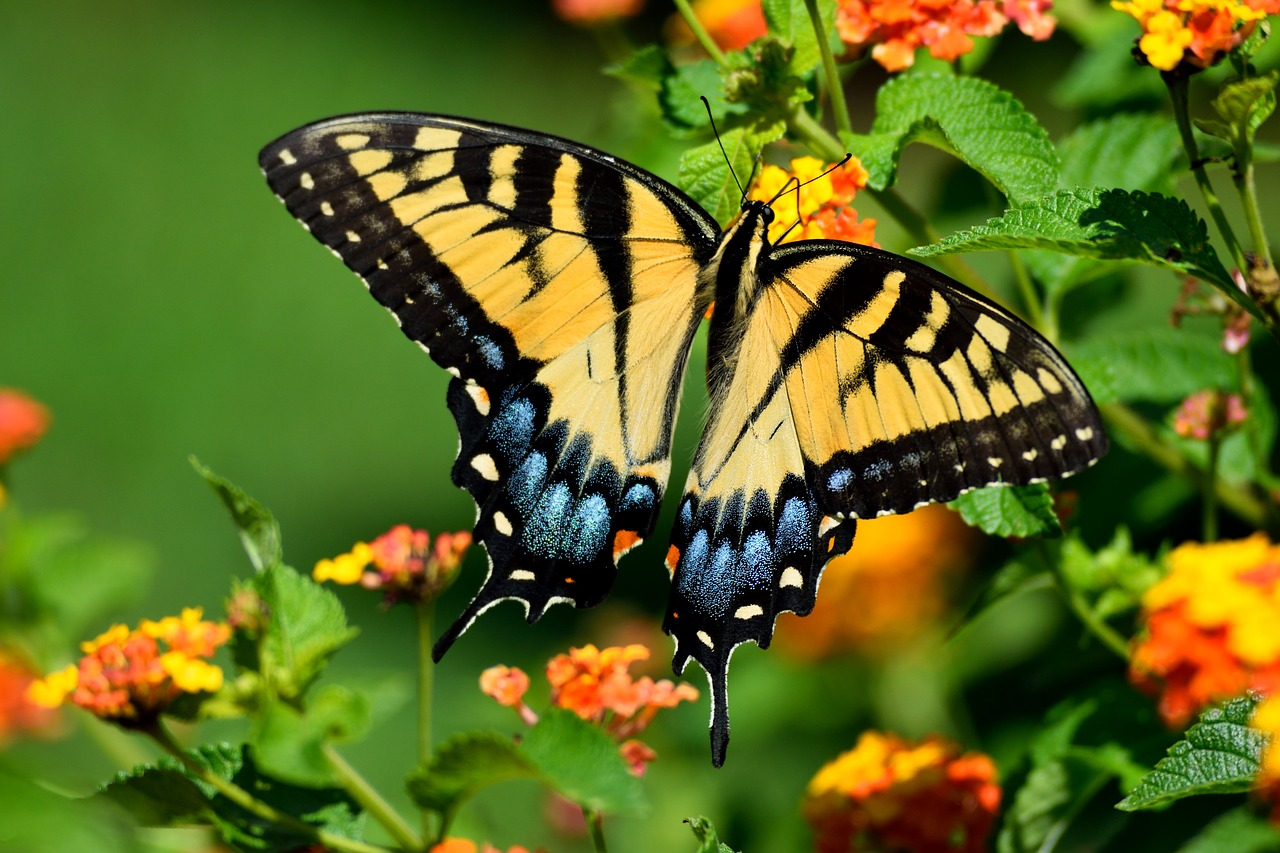 Tiger Swallowtail Butterfly, Photo credit: Paul Brennan