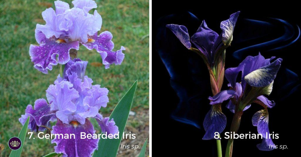 Mid-spring blooms Irises