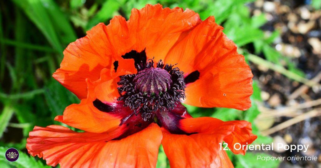 Oriental Poppy - Mid-spring blooms