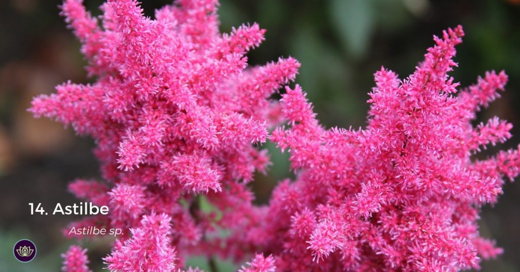 Astilbe - Later spring blooms