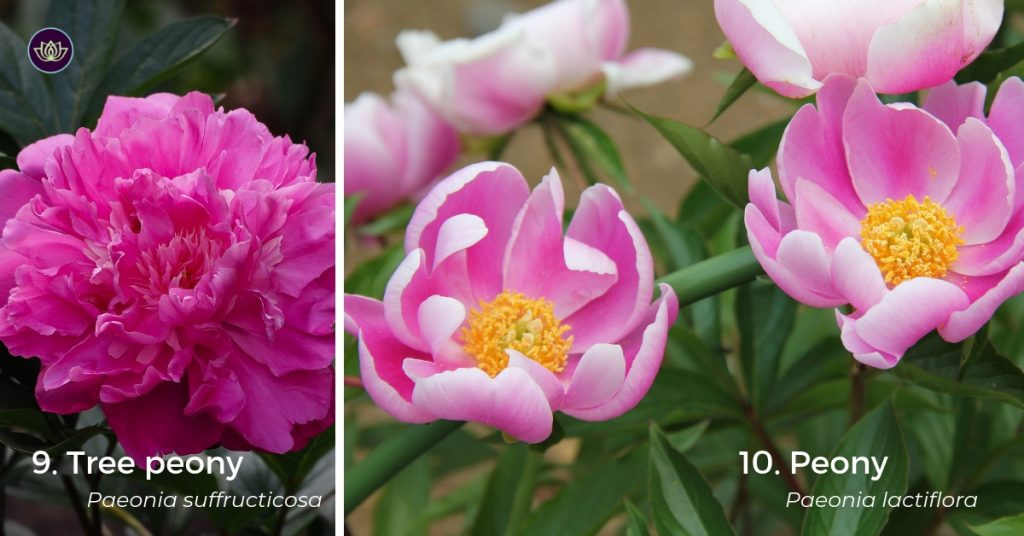 Mid Spring Blooms - Peonies