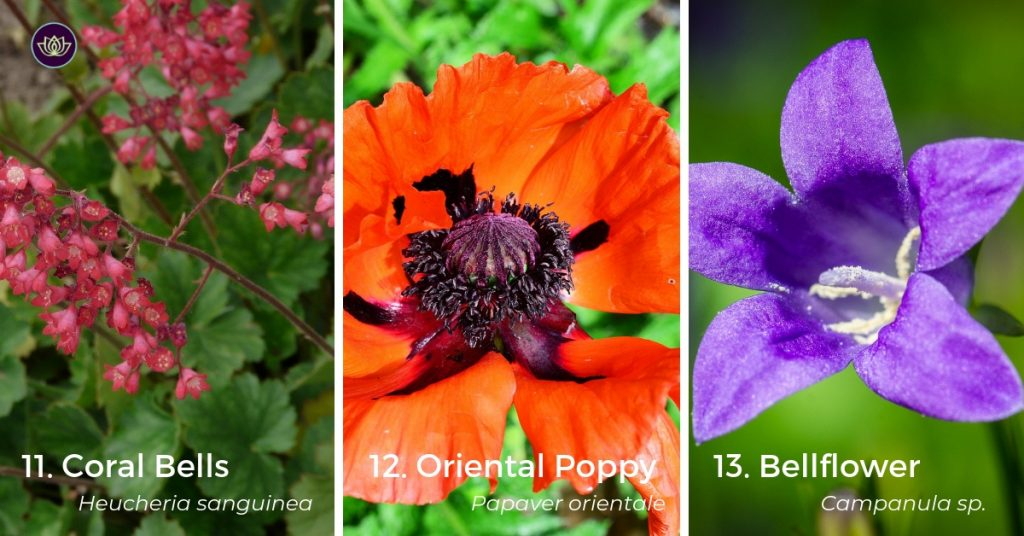 Mid Spring Blooms Poppy, Balloon Flower and Coral Bells