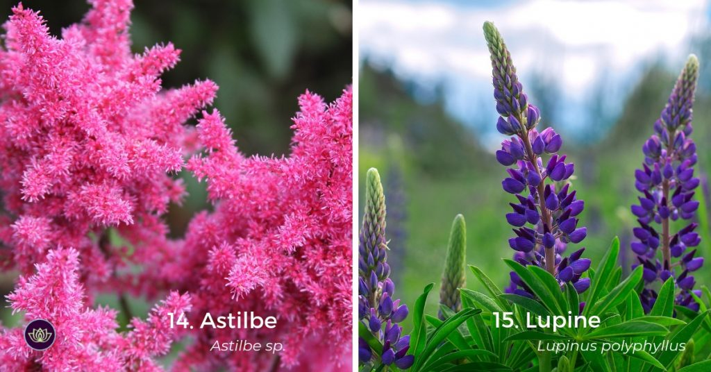 Later Spring Blooms - Astilbe and Lupine
