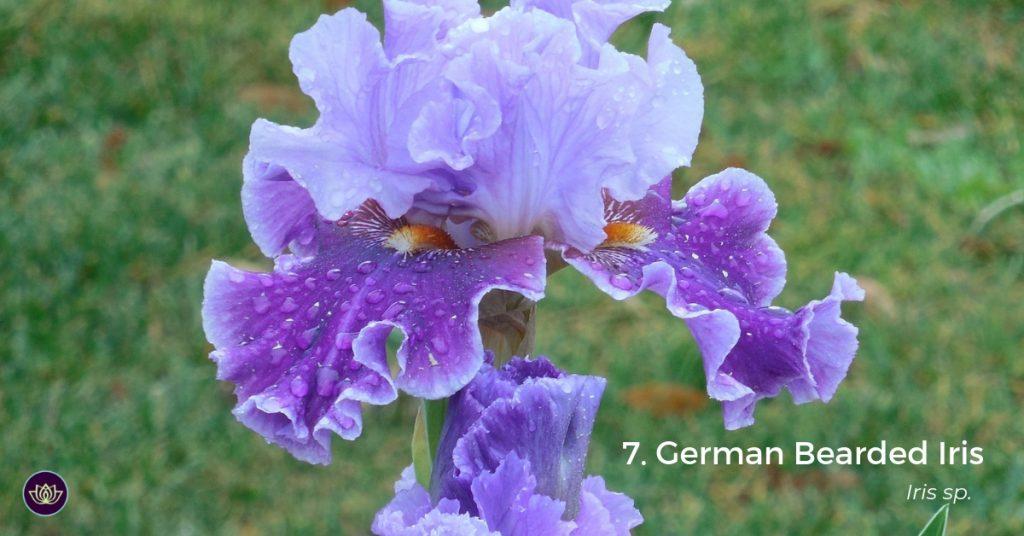 German Bearded Iris