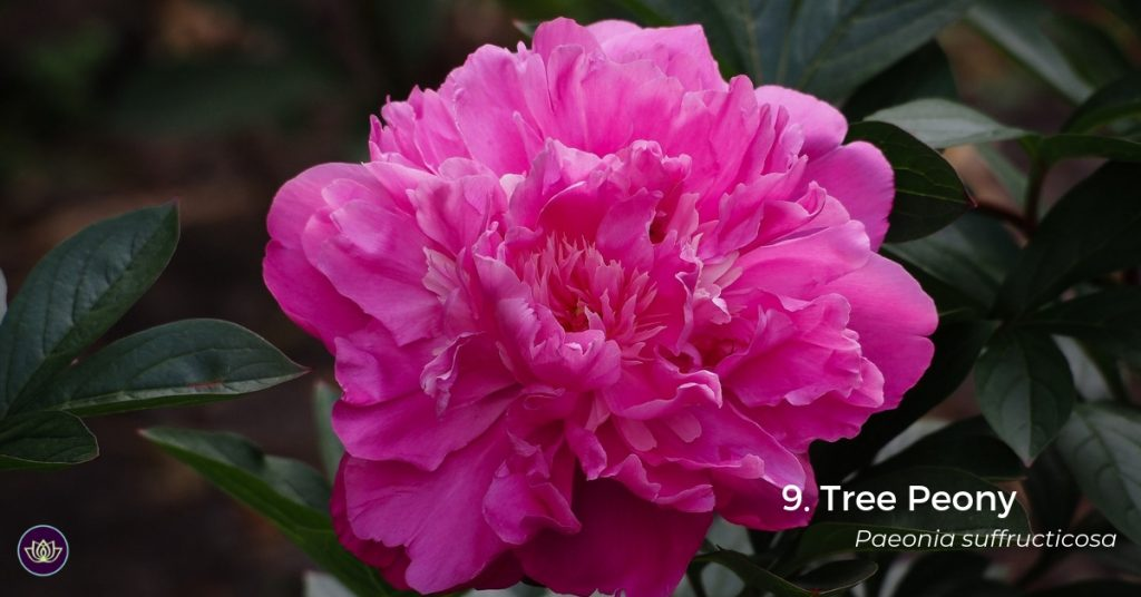 Tree Peony - mid-spring blooms