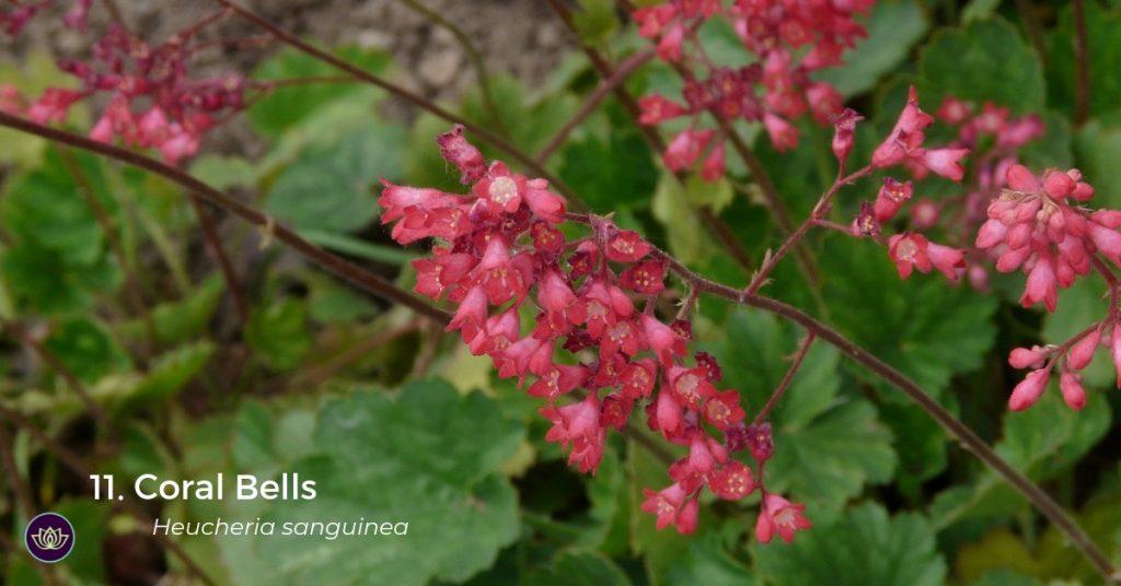 Coral Bells - Mid-spring blooms