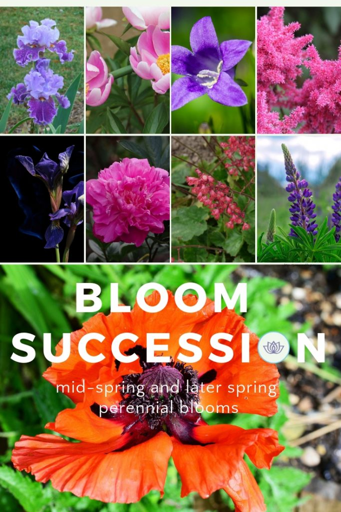Bloom succession mid-spring and later spring perennial blooms