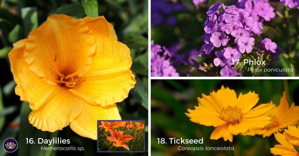Daylillies, Phlox and Tickseed - Perennial Plants Early to Mid-Summer