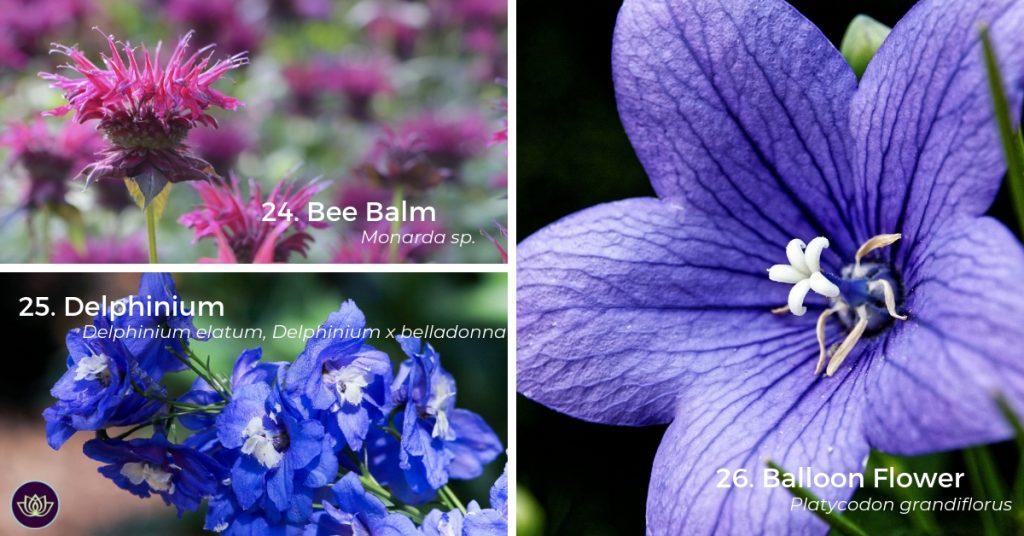 Bee Balm (Monarda), Delphinium, Balloon Flower