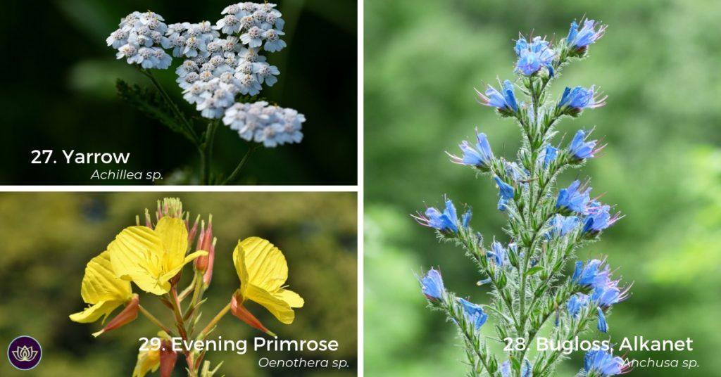 Yarrow, Evening Primrose, Bugloss