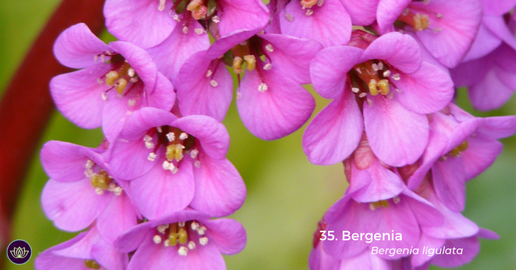 Bergenia (Bergenia ligulata) by Hans Braxmeier