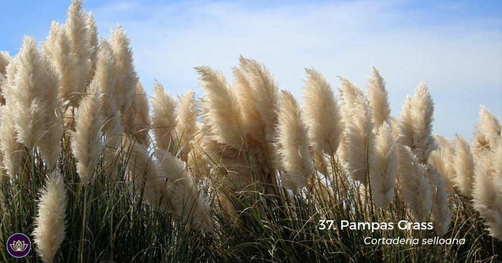 Pampas Grass (Cortaderia selloana) by R. Smith