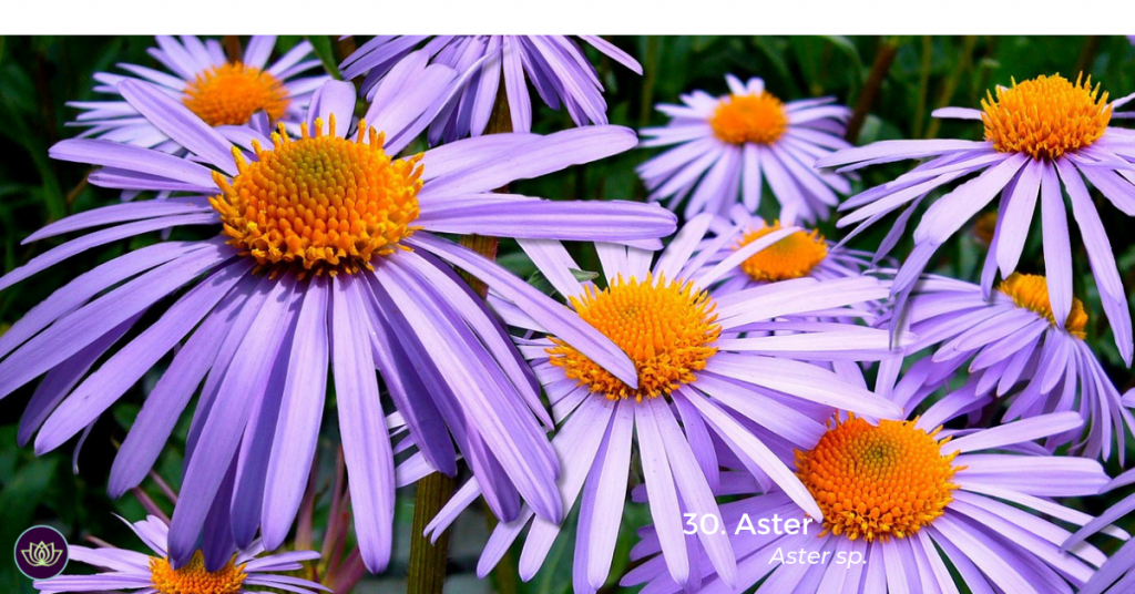 The purple blooms of the ASTER plant