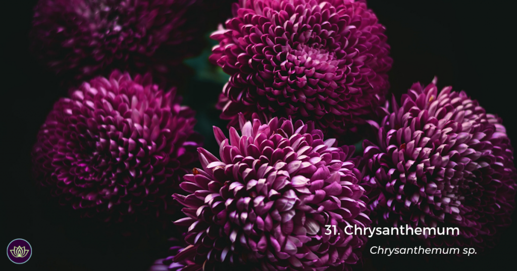 Chrysanthemum (Chrysanthemum sp.) by Kristina Flour