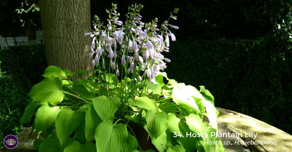 Hosta Plantain Lily (Hosta sp., H. sieboldiana) by Hans Braxmeier
